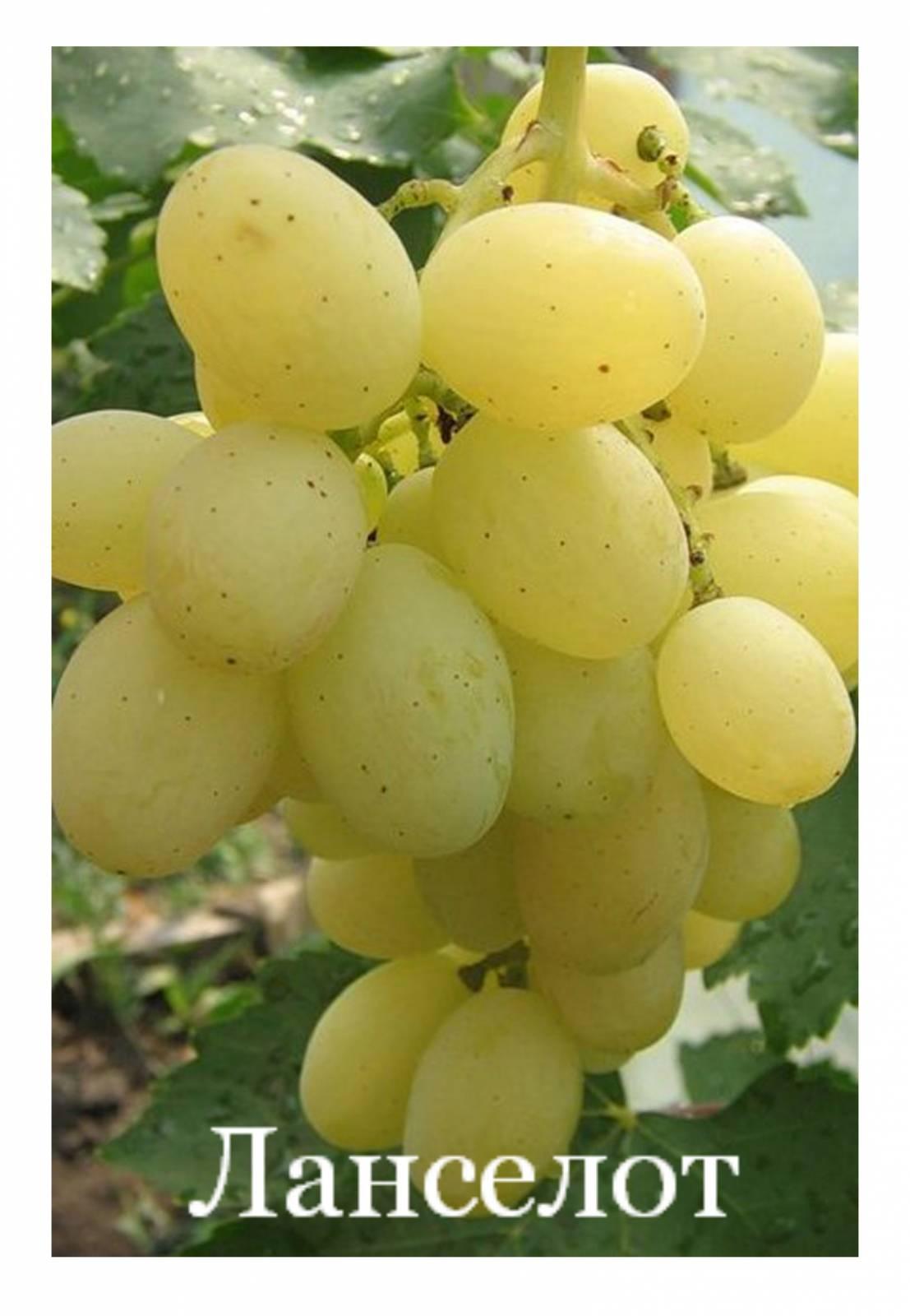 Виноград подарок украине описание и фото